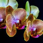 Orchidées (Nature)